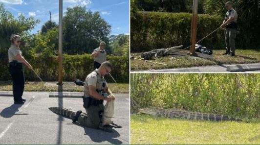 """佛罗里达州一只身长1.8米的""""暴怒""""鳄鱼在停车场追逐行人"""