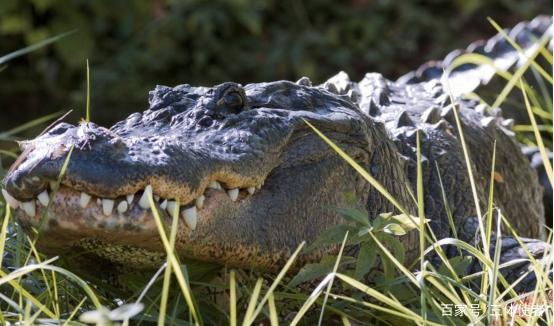 佛州一邮局内 惊现一条短吻鳄