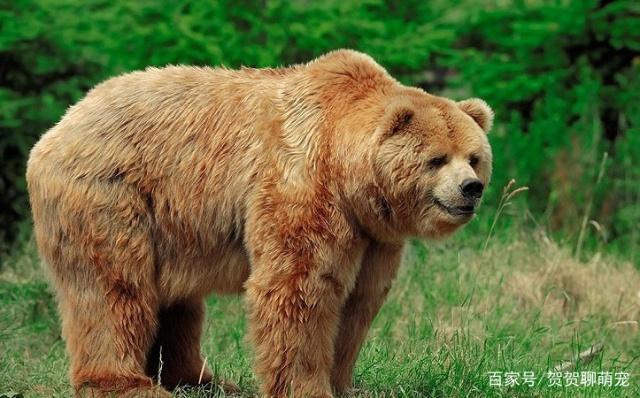 俄夫妇返途不顺遇棕熊袭击,趴在树上十天十夜没进食