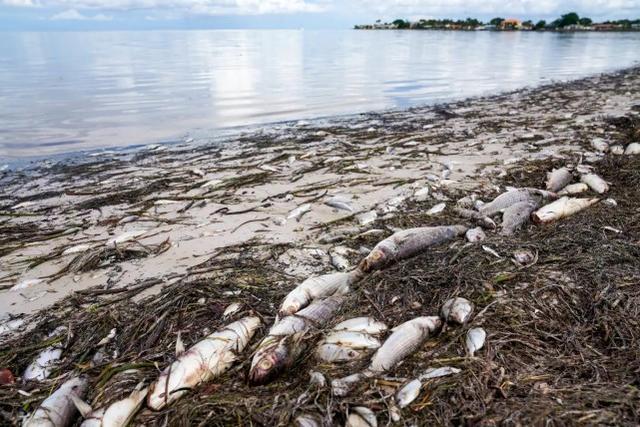 坦帕湾有毒藻类泛滥,600吨死鱼被冲上岸