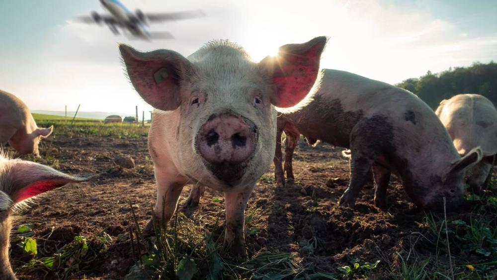 """""""猪队友""""登场!为防鸟击,荷兰阿姆斯特丹机场启用""""猪巡逻队"""""""